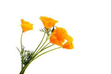 Beautiful California Poppys isolated