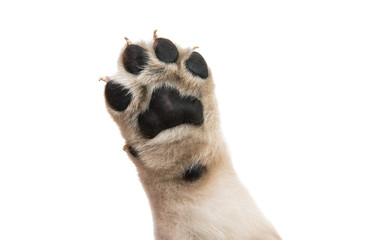 puppy paw isolated