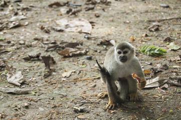 Portrait Squirrel Monkey (Saimiri sciureus), South American, Monkey Island, Amazon Colombian