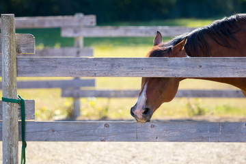 chestnut horse in pen chewing on fence rail