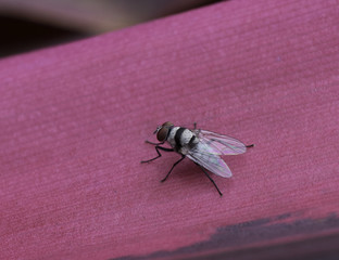 Root-maggot or flower fly with red eyes, black and white bands, and iridescent wings on a pink leaf.