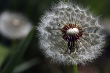 Dandelion showing the texture of the seeds, the cushion and the feathery parachutes.  The backgound is softly out of focus