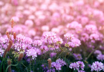 Photo background of a pink delicate clover