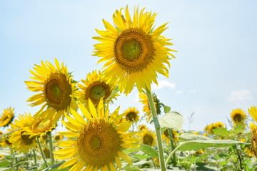 Beautiful Sunflowers under the sun