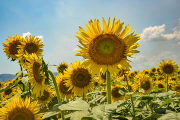 Beautiful Sunflowers under the sun