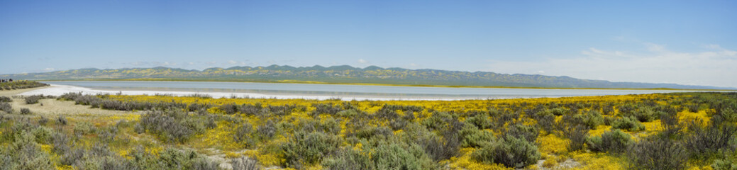Beautiful yellow goldifelds blossom with Soda Lake