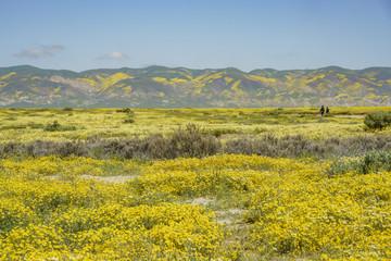 Foto op Plexiglas Panoramafoto s Beautiful yellow goldifelds blossom