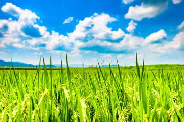 稲作 日本の田園