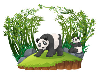 Two pandas in bamboo forest