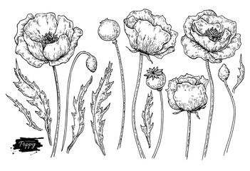 Poppy flower vector drawing set. Isolated wild plant and leaves. Herbal engraved style illustration.