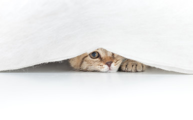 Funny cat hidden under small white curtain isolated