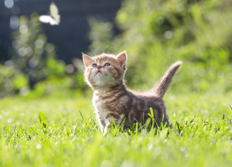 Papier Peint - Funny cat in green grass looking at butterfly