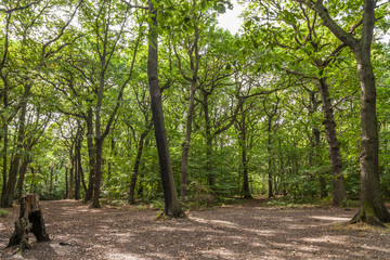 green beech trees with sun rays going through the crowns