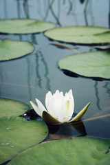 Nympaea Tetragona Georgi. Aged photo. White water lily and green lily pads in the lake. IUCN, Red List. Kenozersky National Park (UNESCO Biosphere Reserve), Russia. Vertical format.