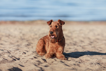 The Irish Terrier is lying on the sand near the water
