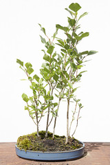 Black poplar (populus nigra) bonsai on a wooden table and white background
