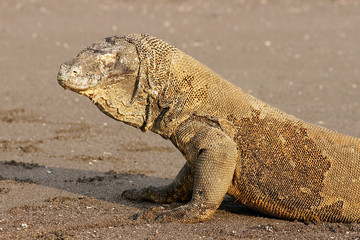 Komodo dragon, famous reptile lizard species, with its eyes closed. The habitat on Komodo and Rincha Islands - National park in Indonesia, Asia.