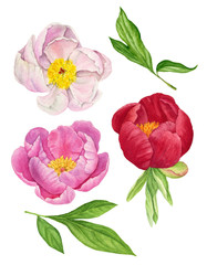 Watercolor illustration of flowers and leaves of the tree peony. Floral set.