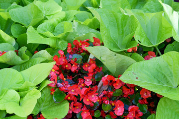 red begonia in sweet potato vine with raindrops