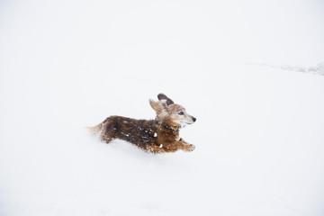 USA, Colorado, Dachshund running in snow at winter