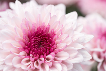 Chrysanthemum (Anthemideae) pink blooming in the garden macro photography.