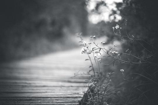 Zarte Gräser vor einem mit Moos bewachsenen Steg aus Holz im Wald (schwarzweiß)