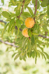 Ripe yellow plums on tree in orchard
