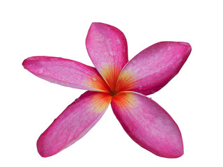 Frangipani Flower or Plumeria. (clipping path)