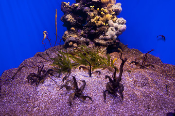 Many beautiful sea horses underwater in aquarium.
