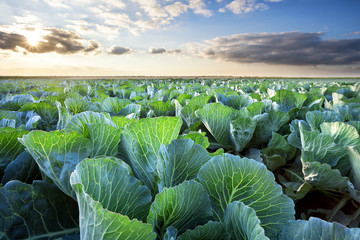Field of ripe cabbage under a cloudy sky