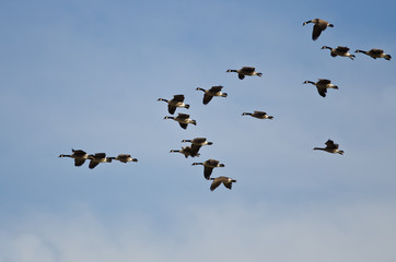 Large Flock of Canada Geese Flying in a Blue Sky