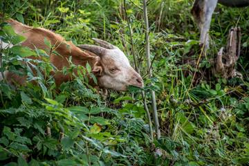 Goats in Waldeck, Germany