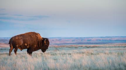 Canvas Prints Bison Bison