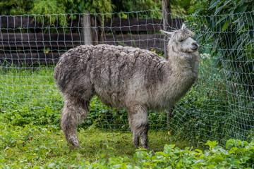 Gray alpaca in a farm
