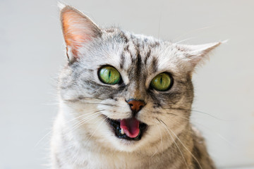 young british cat open mouth say meow. Portrait of emotional British cat with bright green eyes on white background