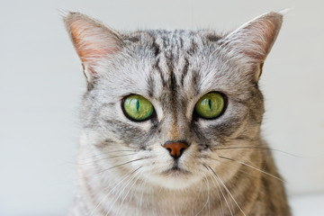 Portrait of gray shorthair British cat with bright green eyes on white background