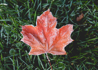 Beautiful autumn maple leaves with frost along the edges sitting on frosty grass