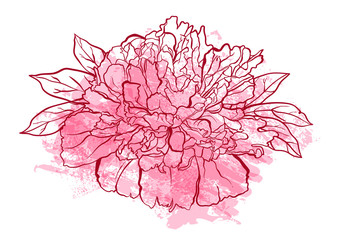 Hand drawn peony flower vector illustration.