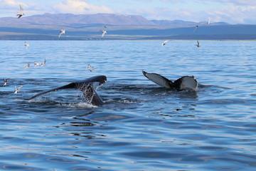 Couple de baleines dans un fjord en islande