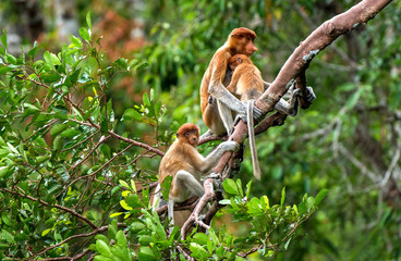 A female proboscis monkey (Nasalis larvatus) with a cub in a natural habitat. Long-nosed monkey, known as the bekantan in Indonesia. Endemic to the southeast Asian island of Borneo. Indonesia