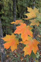 Sugar Maple Leaves in Early Fall