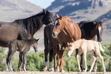 Wild mustang foals with herd in field
