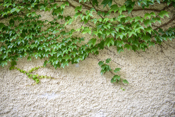 The green vines plant on the wall