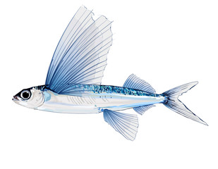 Wall Murals Art Studio Flying fish in watercolor