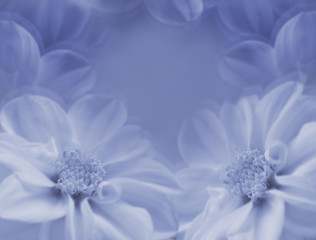 Floral blue-white beautiful background. Large white flowers of dahlia on a blue blurred background.  Closeup. Nature..
