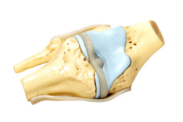 Knee Model – Functional Knee Joint Model, Life Size Anatomical Knee with Functional Ligaments