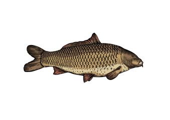 Drawing of live carp