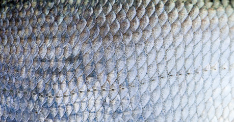 Bream fish scales textured skin pattern macro view. Selective focus, shallow depth field