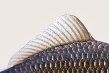 Search photos fin for List of fish with fins and scales