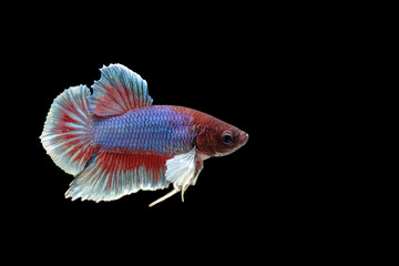 Siamese fighting fish Big Ear white, blue, red and green with beautiful and unique local Thai.Isolated on a black background.